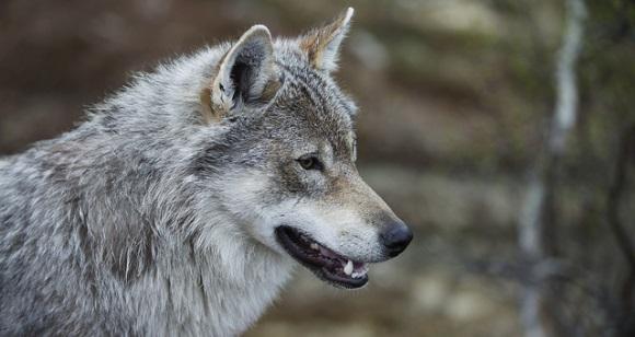 Polarpark Norwegen mit Wölfen